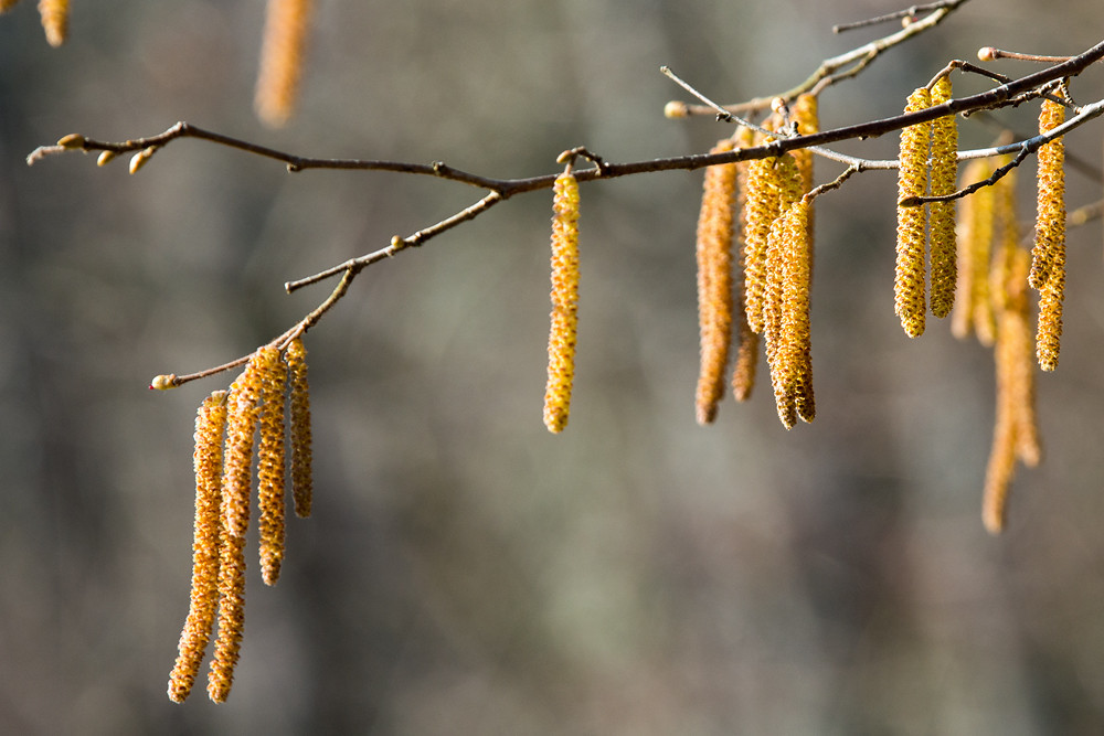 Die Natur hat sich geirrt: Auf die frühe Blüte von Hasel und Erle von Ende Januar bis Mitte Februar folgte erst der Winter