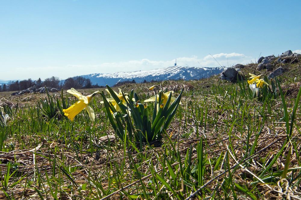 Bilderbuch-Frühling auf 1300 m im Berner Jura (im Hintergrund der 1607 m hohe Chasseral)