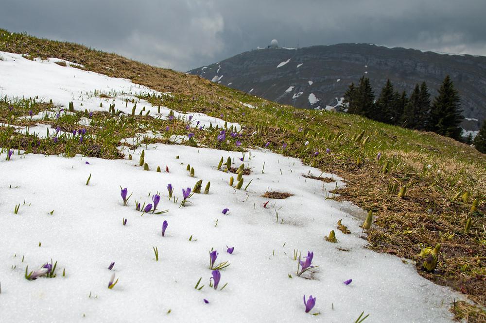 Ende Mai kämpfte die Natur auf den Jurahöhen (hier Waadtländer Jura auf knapp 1500 m) immer noch mit dem Winter