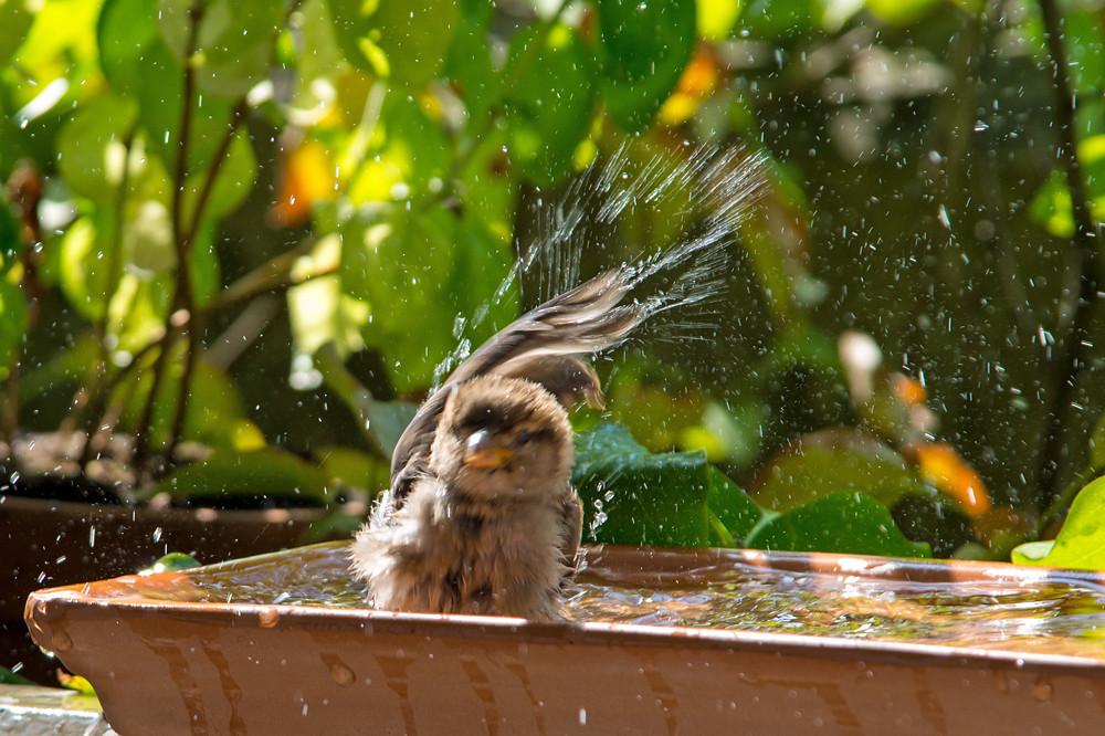 Bei Temperaturen von über 35 Grad wird es jedem Lebewesen zu heiss. Dieser junge Spatz geniesst die von orniwetter.info extra hergerichtete Bademöglichkeit.