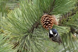 Aus ist es mit dem Balzgesang: Die Vögel konzentrieren sich jetzt wieder vermehrt auf die Futtersuche (Tannenmeise an Kiefernzapfen)