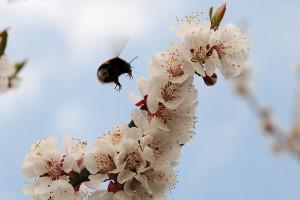 Frühlingsboten: Hummel an Marillen-/Aprikosenblüte