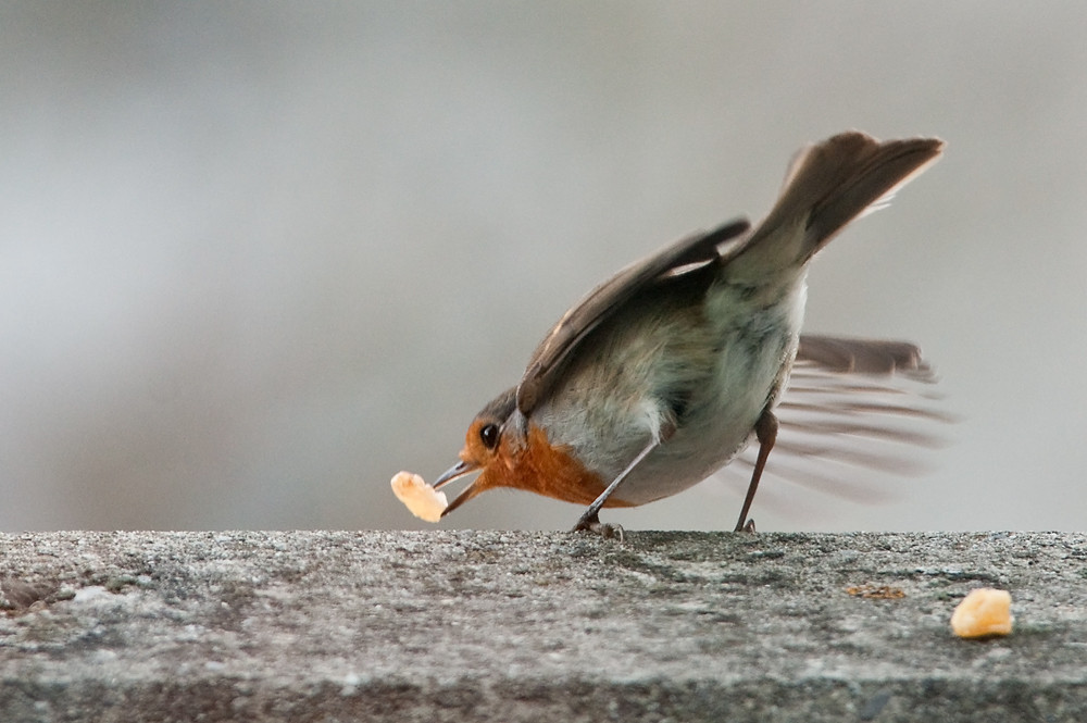 Als alles zu Eis erstarrt war, kamen die Vögel in Scharen zu den Futterstellen: Rotkehlchen in der Rolle des Rosinenpickers