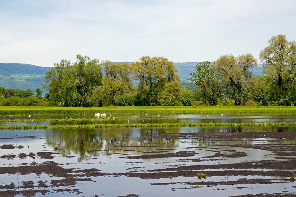Zum Tummelplatz für Wasservögel umfunktioniert: Die tiefer gelegenen Äcker im Grossen Moos insbesondere in Nähe des Broyekanals stehen unter Wasser. Hier sind Grundwasseraufstösse die Ursache, nicht zuletzt weil sich der Boden durch die Bewirtschaftung mit schweren Maschinen in den letzten Jahrzehnten kontinierlich abgesenkt hat. Vielleicht baut man hier bald einmal Reis statt Getreide oder Gemüse an, warm genug wäre es ja inzwischen...