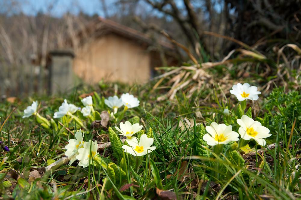An günstigen, sonnenscheinreichen Lagen blüht und spriesst es bereits wie im März