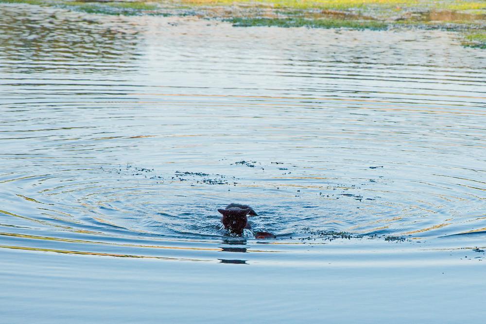 Der September 2016 war so heiss, dass sogar Katzen baden gingen (Wohlensee bei Bern, 29.09.2016)